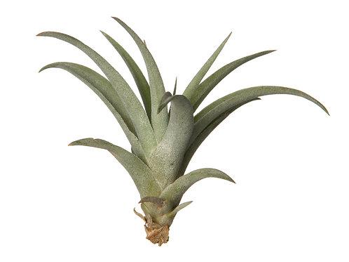 Тилландсия Капитата зелёная (Tillandsia Capitata green)