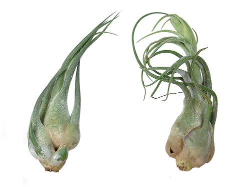 Тилландсия Муравьиная плантация (Tillandsia Seleriana)