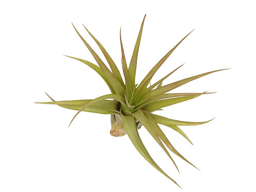 Тилландсия Мультифлора (Tillandsia Multiflora)