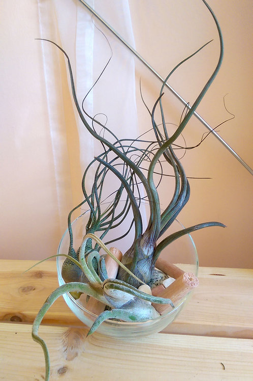Настольный флорариум с 3-мя тилландсиями