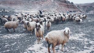 Like Sheep without a Shepherd