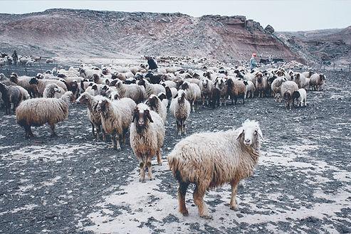élevage de mouton pour la les laines Dormeuil