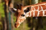 giraffe-2222908_960_720.webp