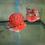 "Thumbnail: FLOWERHORN CICHLLID FRY ( SRD ) Big Kok Gene 5 PACK  | Size: .5"""