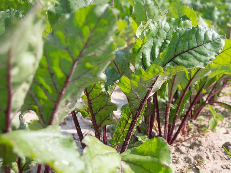 ortaggio biologici, verdura bio
