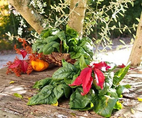 prelibatezze invernali, radicchio e cicoria biologica