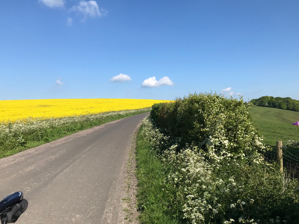 A McKenzie Oil seed rape on Winchester Hill