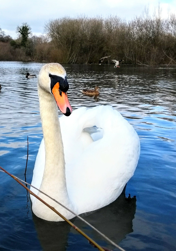 M. Mowbray Swan in North Pond