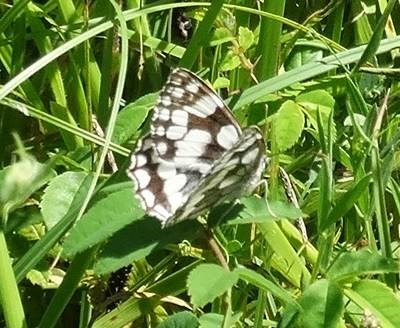 Marbled White at Claylands