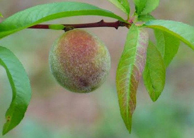 Tucker Parks Orchard Guild
