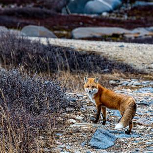 A Birthday Fox