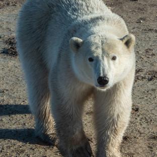 Polar Bear Walk