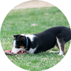 Puppy chewing on frisbee