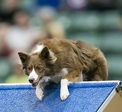 Agility training dog competes