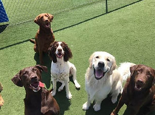 Happy dogs in PSFD Daycare