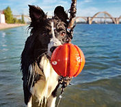 Dog plays with toy near water