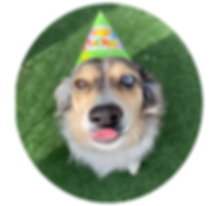 PSFD dog wears party hat and sticks out tongue