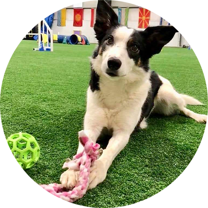 Agility puppy plays with toy in PSFD arena.