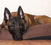 Dog lounges on his bed