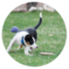 PSFD puppy plays with frisbee.