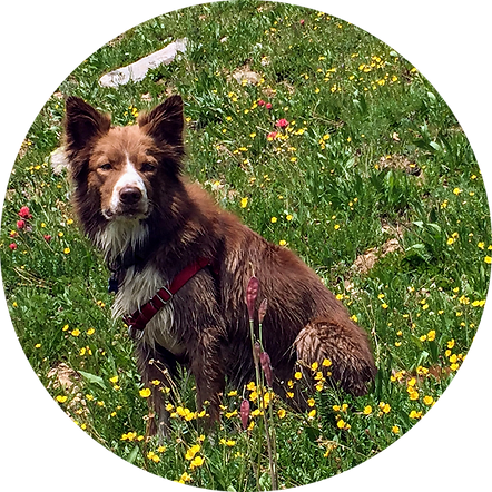 PSFD dog hikes in mountain flowers.