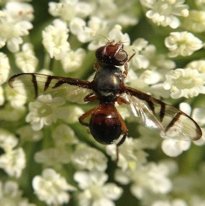 Signal Fly (Rivellia)