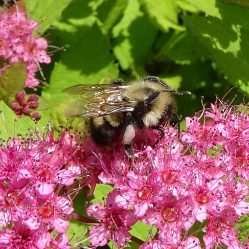 Two-spotted Bumble Bee (Bombus bimaculatus)