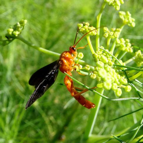 Ichneumon wasp (Trogus pennator)