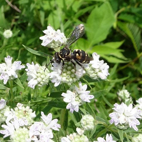 Cuckoo Bee (Triepeolus)