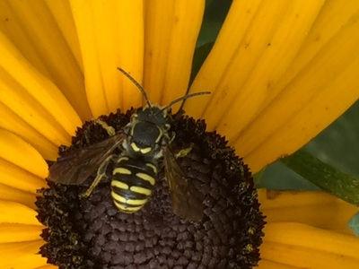 Resin Bee (Paranthidium jugatorium)