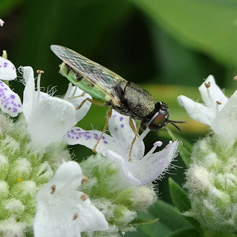 Soldier Fly (Odontomyia)