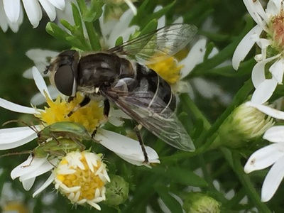 Syrphid Fly (Eristalis dimidiate)