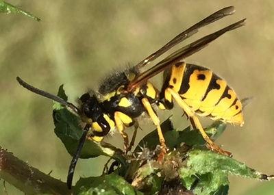 Eastern Yellowjacket (Vespula maculifrons)