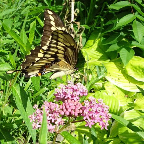Eastern Giant Swallowtail (Papilio cresphontes)