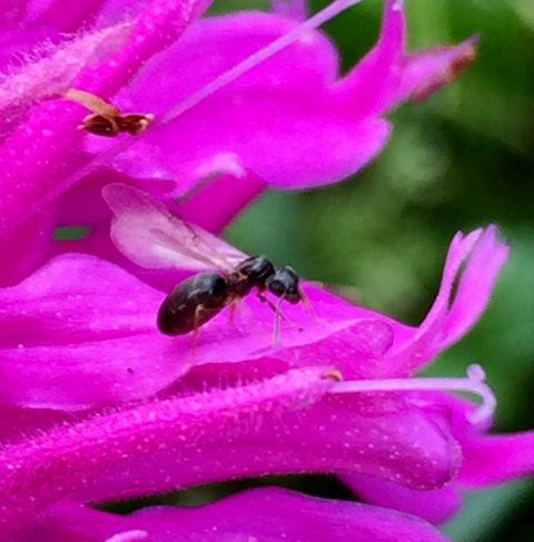 Carpenter Ant (Camponotus)