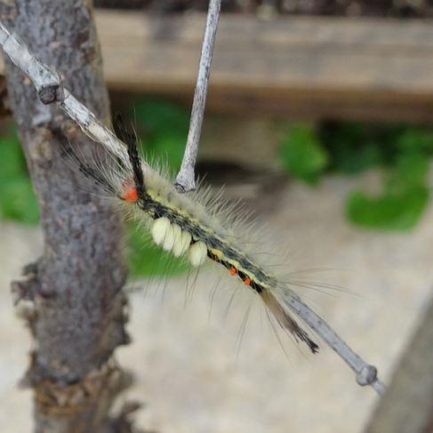 White-marked Tussock Moth (Orgyia leucostigma)