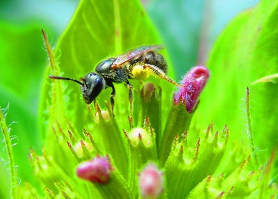 Sweat Bee (Lasioglossum)