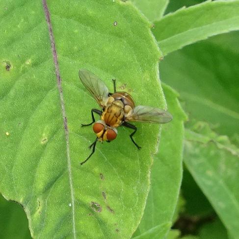 Fly (Gymnoclytia occidua)