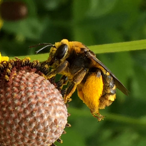 Long-horned Bee (Eucerini)