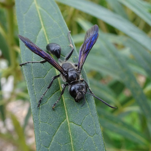 Grass-carrying wasp (Isodontia apicalis)