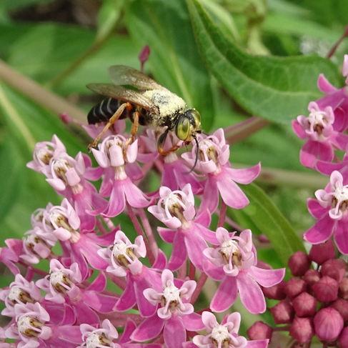 Apoid wasp (Tachytes)