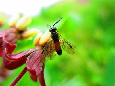 Common Sawfly (Tenthredo)