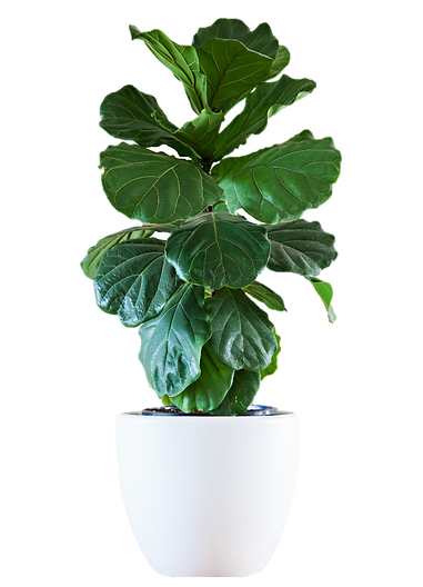 Ficus%20no%20background_edited.png