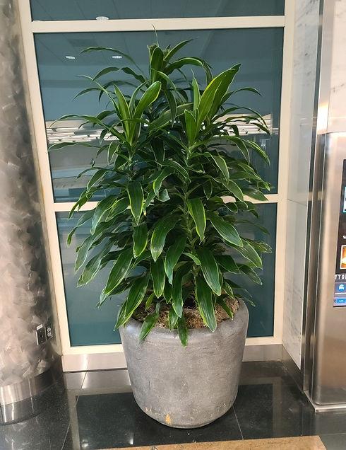 Tropical Art Carmen Plant in pot at Denver Airport