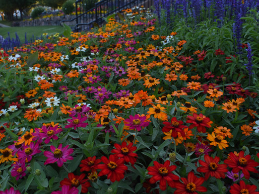 Top Annuals for a Fragrant Yard