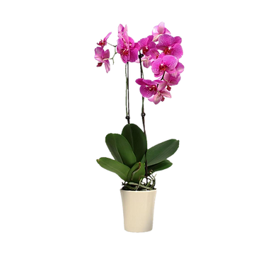 Orchid_edited.png