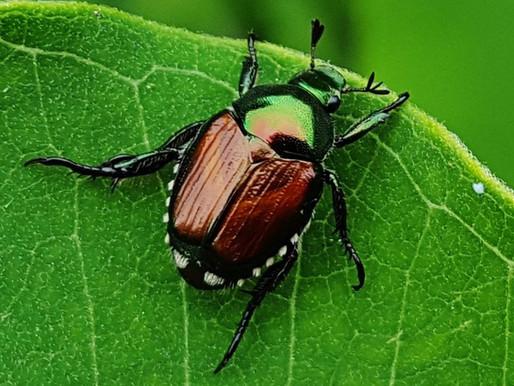 Big Bad Bug Blog – Episode #1: The Japanese Beetle