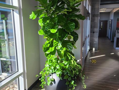 Ficus Lyrata _ Sheltair