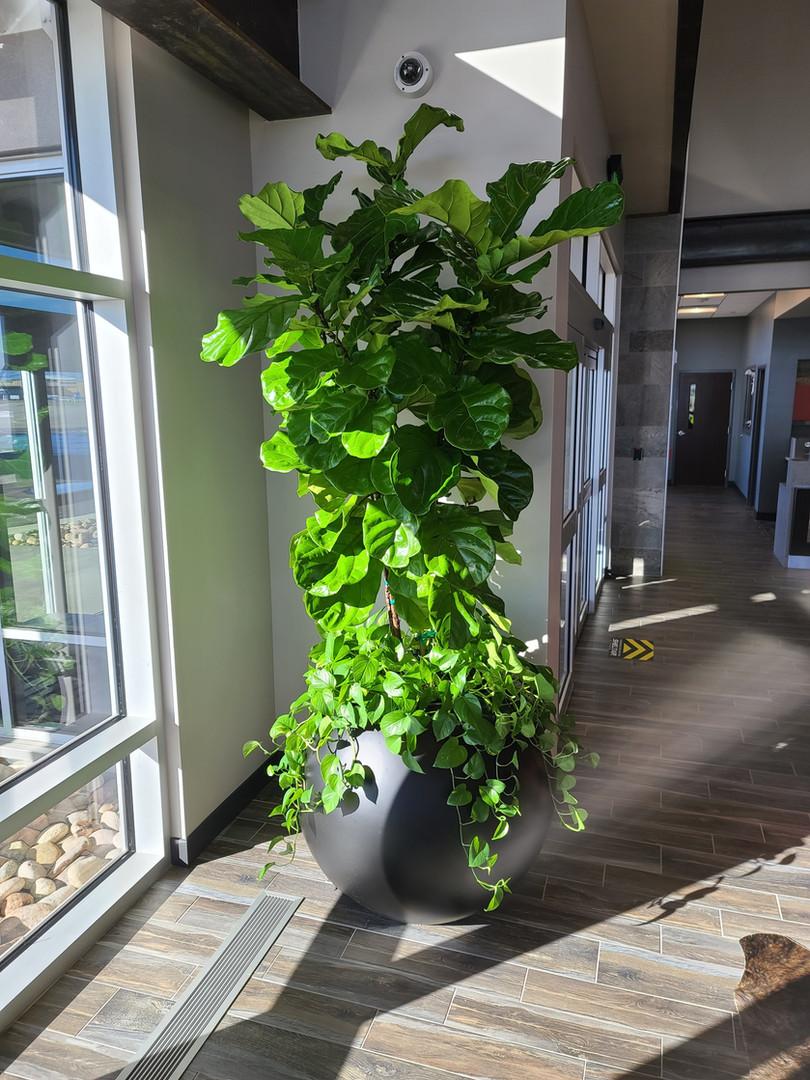 Ficus Lyrata _ Sheltair.jpeg