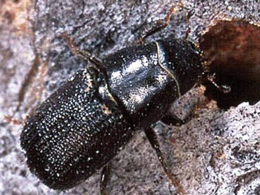 Big Bad Bug Blog – Episode #3: The Mountain Pine Beetle
